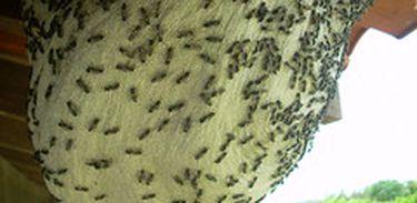 Bioquímica fala sobre as providências que devem ser tomadas diante ao ataque de abelhas.