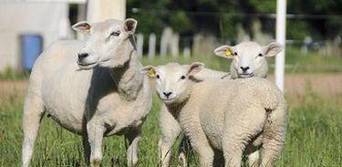 O baixo consumo da carne ovina vai desde a pouca disponibilidade do produto no mercado até a falta de hábito do consumidor