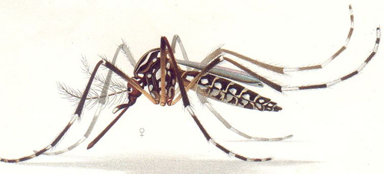 aedes_aegypti_resting_position_e-a-goeldi_1905.jpg