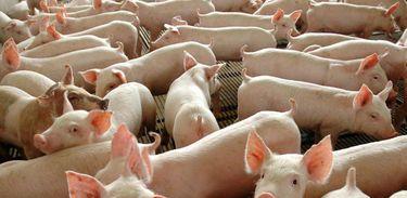 Porcos, Suinocultura