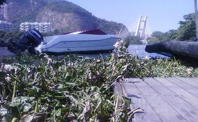 Toneladas de gigogas apareceram neste final de semana na praia da Barra da Tijuca e na Praia de Ipanema