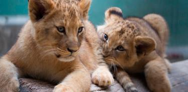 Zoológico de São Paulo faz enquete para escolher nome de pequenas leoas