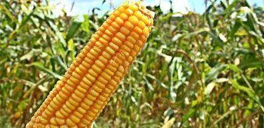 Preço do milho permanece elevado no Brasil