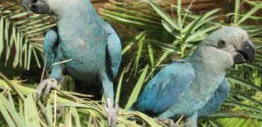 Ararinha Aul desapareceu de seu habitat natural em 2000