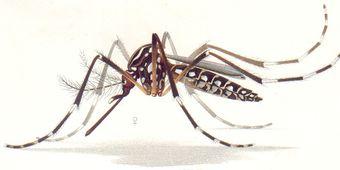 Além da dengue, febre amarela e chikungunya, o Aedes aegypti é também o vetor de transmissão da febre zika