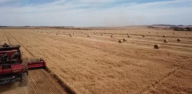 Programa acompanha trajeto do trigo do campo ao moinho