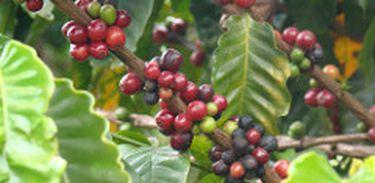 O Brasil é o maior produtor de café do mundo, corresponde 1/3 da produção mundial