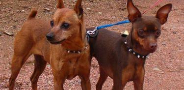 Cães Pinschers