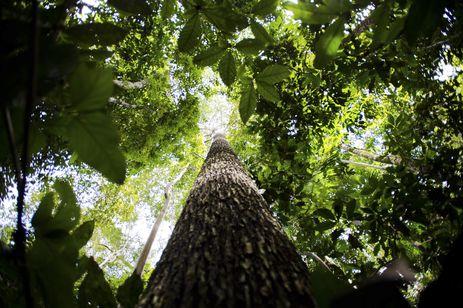 Floresta em Juruena, MT, Brasil: Castanheira na reserva legal comunitária do assentamento Vale do Amanhecer. (Foto: Marcelo Camargo/Agência Brasil)