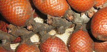 Buriti: espécie do Centro-Oeste