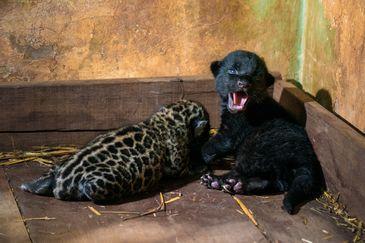 Recinto das Onças - Refúgio Biológico Bela Vista,Panthera onca; RBV; conservacao; especie ameacada de extincao; fauna; filhote; onca; preservacao; reproducao