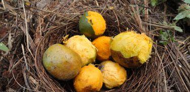 Foto de fruto de macaúba