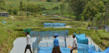 A produção de tilápia em cativeiro é uma atividade econômica importante em vários países