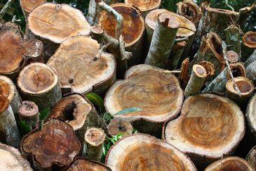Madeira obtida de plantio de espécies florestais de rápido crescimento