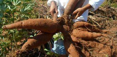 Mandioca Biofortificada, rica em Betacaroteno