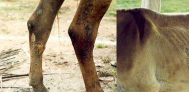 Mormo, uma doença infectocontagiosa dos cavalos, jumentos e burros