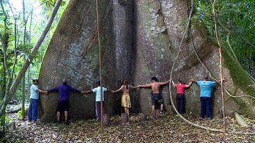 Samaúma gigante é conhecida como a mãe da Amazônia