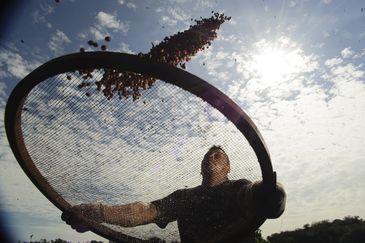 SÃO PAULO, SP, BRASIL,  12-06-2013, 09h00: Plantação de café onde pesquisadores da Embrapa estudam os efeitos do aquecimento terrestre e o do aumento de CO2 na atmosfera no comportamento das plantas. O estudo pretende prever como será o