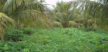 Feijão-de-porco: Leguminosa usada para proteger o solo e controlar plantas invasoras