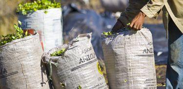 A colheita do jaborandi em Carajás tem história. A planta já esteve na lista de espécies ameaçadas de extinção