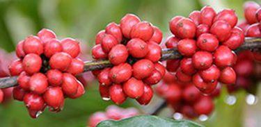 Café pro melhoramento genético