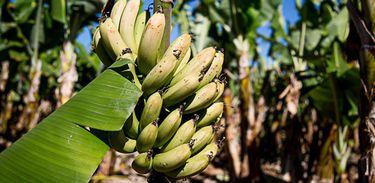 Pesquisa mostra melhoria da produção de bananeiras