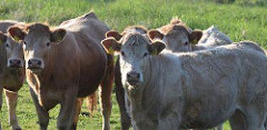 Nas pastagens dos Pampas, o boi criado livre tem boa alimentação, rica em ômega 3