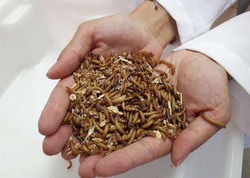 Larvas de mosquitos, besouros e grilos na alimentação de peixes e aves