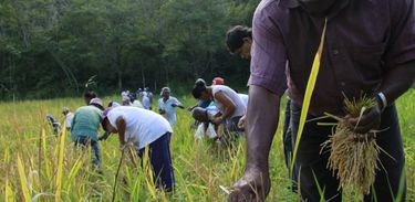 Mutirão da colheita de arroz na comunidade de Quilombo Morro Seco