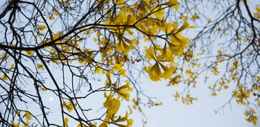 Ipês-amarelos florescem em Brasília.