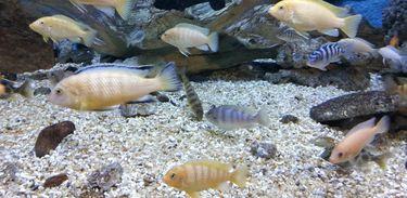 peixes ornamentais