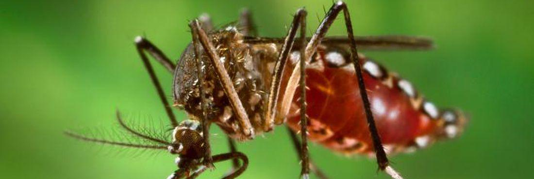 O mosquito da dengue também é conhecido como pernilongo rajado