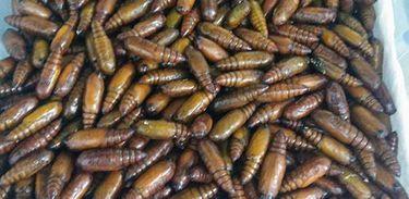 Pesquisadores estudam extrato de plantas no combate da lagarta, principalmente a Helicoverpa armigera