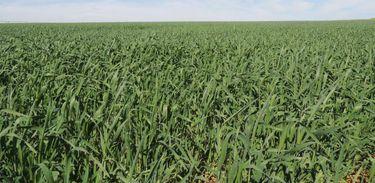 Lavoura de trigo irrigado no cerrado em MG