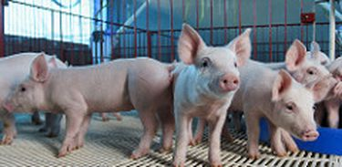 A música é usada em granja suína para acalmar os animais e também os funcionários