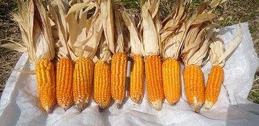 Espigas da cultivar BRS Caimbé colhidas em propriedade da empresa licenciada