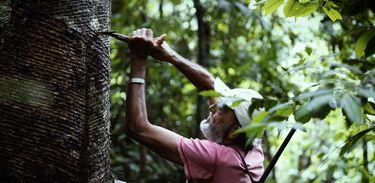 Seringueiro corta árvore para extrair o látex