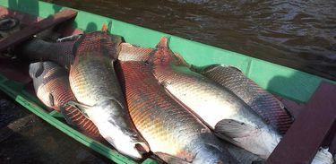 Pirarucu - peixe da Amazônia