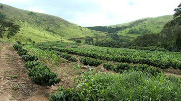 Cafezal da Fazenda União