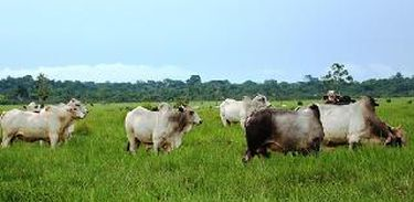 Manejo na pastagem no Pará