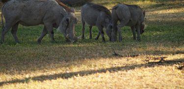 Javali é uma das espécies exóticas prejudiciais a fauna brasileira