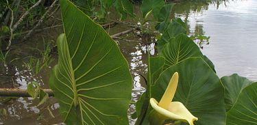 Montrichardia linifera. popularmente conhecida como Aninga