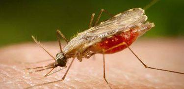Mosquito Anopheles transmissor da malária