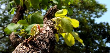 Pequizeiro (Caryocar brasiliense), no Parque da Cidade Dona Sarah Kubistchek. Dá frutos comestíveis que são tradicionais na culinária do Centro-Oeste.