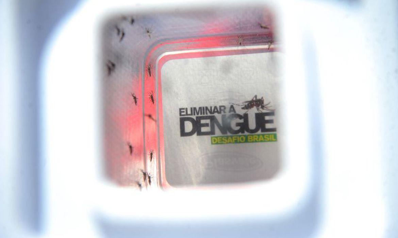 mosquito Aedes aegypty, transmissor da dengue