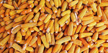 O milho foi difundido por populações indígenas da Amazônia há 6 mil anos atrás