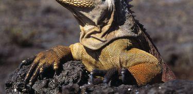 Iguana terrestre, em Galápagos