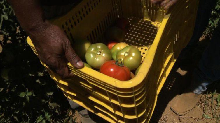 UnB pesquisa técnicas agroecológicas de cultivo do tomate