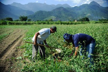 Rio de Janeiro - Colheita de batata-doce biofortificada, fornecida pela Embrapa para alguns produtores rurais de Magé-RJ alcança boa produtividade. Na foto, o agricultor Laerte Luiz da Rosa (Tomaz Silva/Agência Brasil)