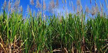 Cultivo cana-de-açúcar